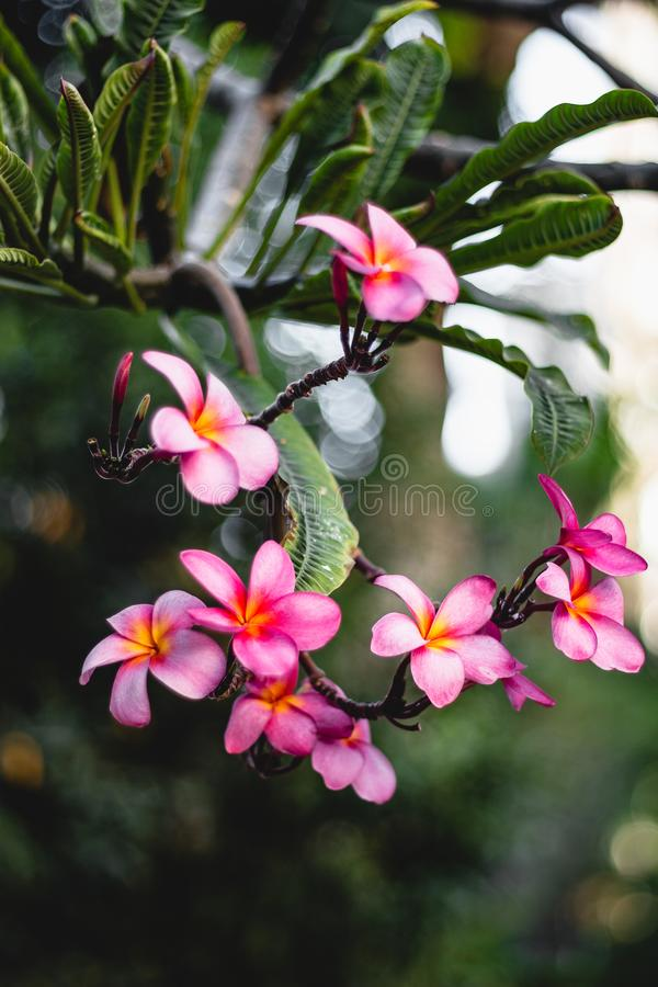 Pink plumeria flowers on a bush. Vertical shot. Beautiful pink plumeria flowers. Vertical shot. Round bokeh. Relax colors royalty free stock images