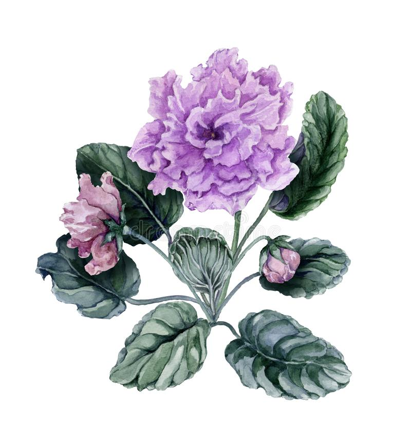 Beautiful pink and purple african violet flowers Saintpaulia with green leaves and closed buds isolated on white background. vector illustration