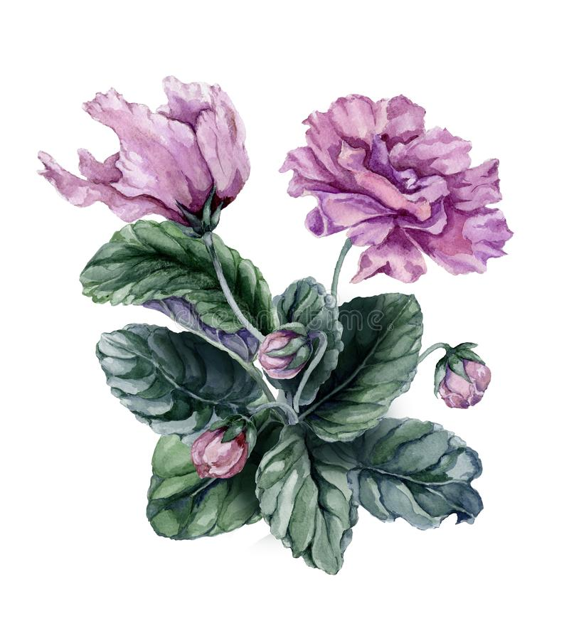 Beautiful pink and purple african violet flowers Saintpaulia with green leaves and closed buds isolated on white background. Watercolor painting. Hand painted stock illustration