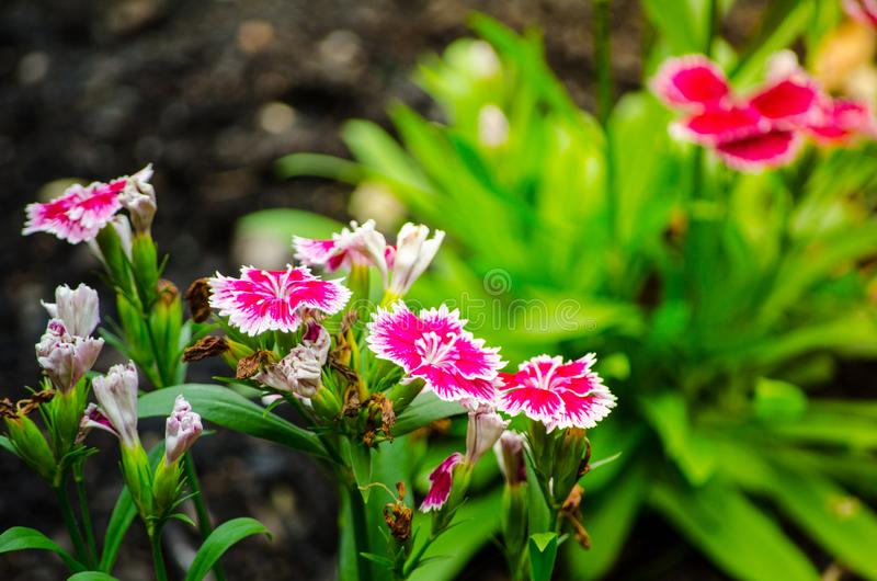 Beautiful pink-purple Dianthus barbatus Sweet William flowers in a spring season at a botanical garden. A Beautiful pink-purple Dianthus barbatus Sweet William royalty free stock photography
