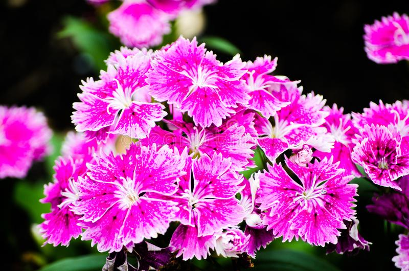 Beautiful pink-purple Dianthus barbatus Sweet William flowers in a spring season at a botanical garden. A Beautiful pink-purple Dianthus barbatus Sweet William royalty free stock image