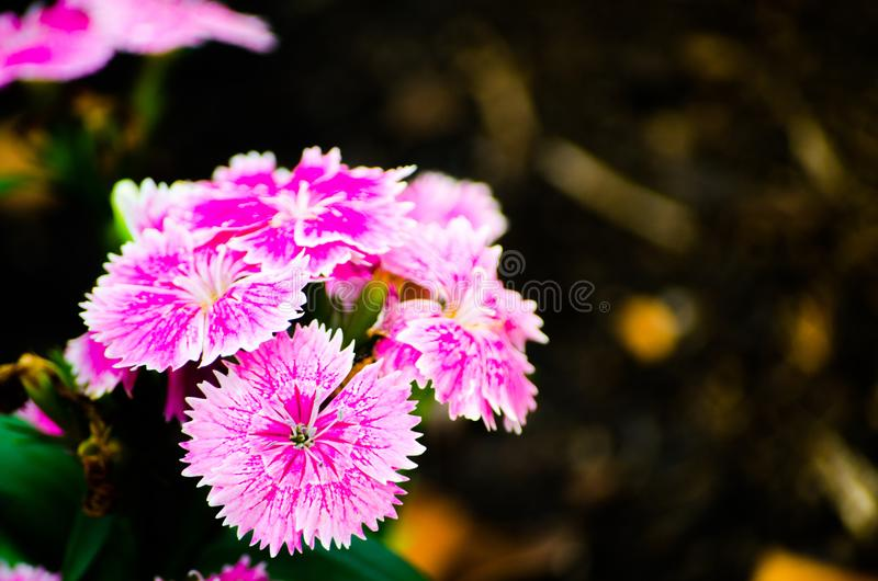 Beautiful pink-purple Dianthus barbatus Sweet William flowers in a spring season at a botanical garden. A Beautiful pink-purple Dianthus barbatus Sweet William royalty free stock photos