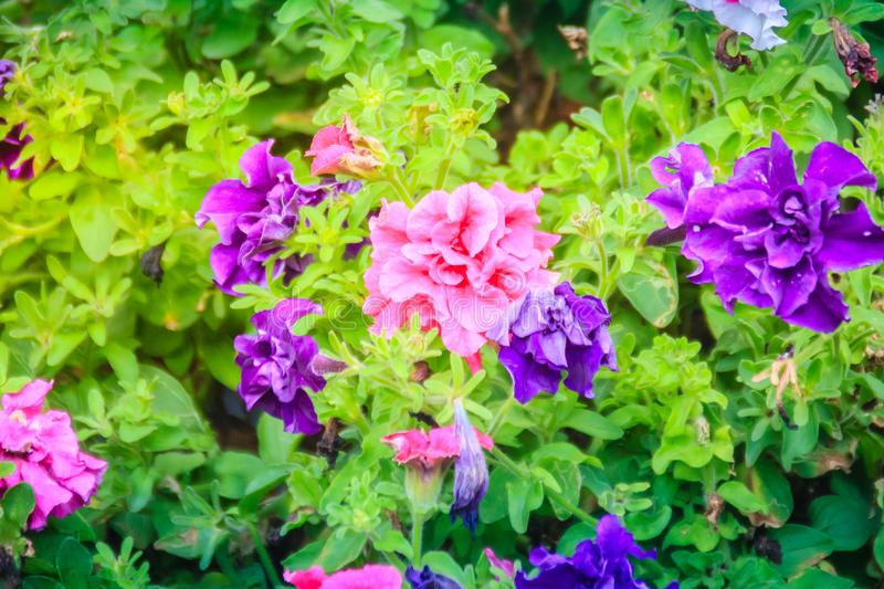 Beautiful pink and purple hybrid petunias flower with green leaves background. Petunia is flowering plants of South American orig stock photo