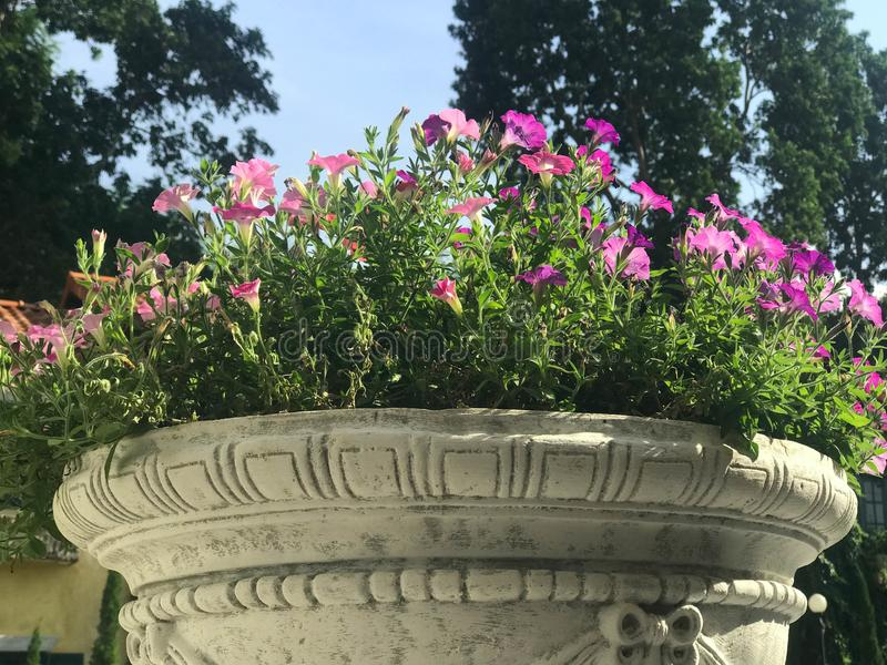 Beautiful pink and purple petunia in white cement flower pot. Under sun light royalty free stock images