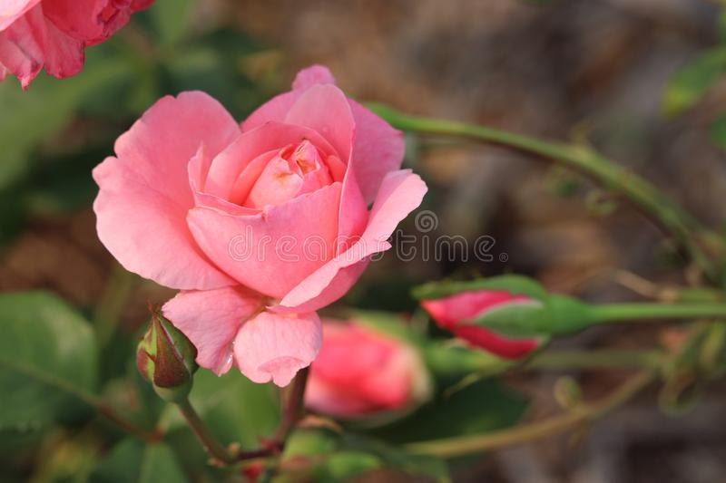 Beautiful pink Queen Elizabeth II Rose stock images