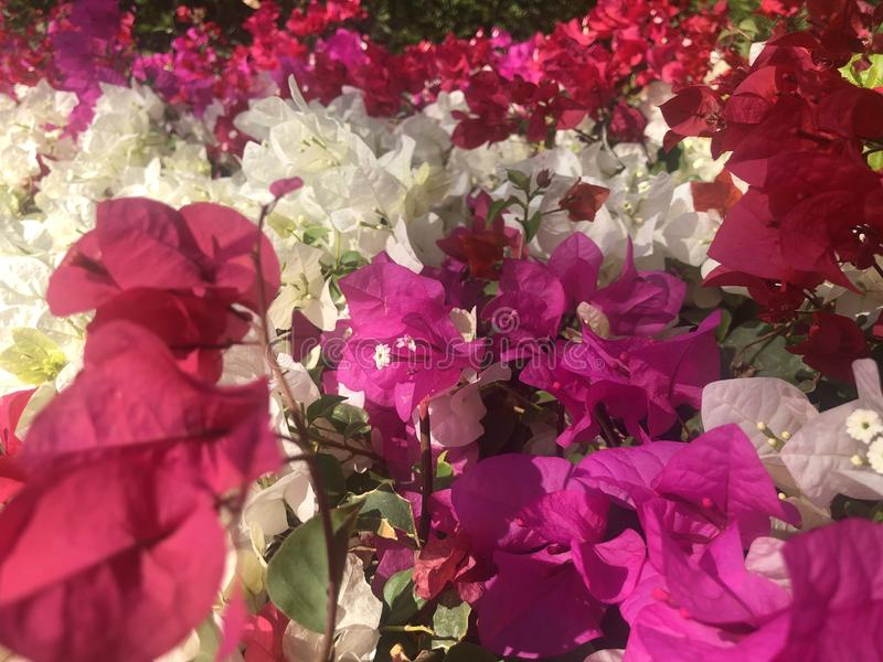 Beautiful pink red blooming, Bright pink red  flowers as a floral background,Bougainvillea flowers texture royalty free stock images