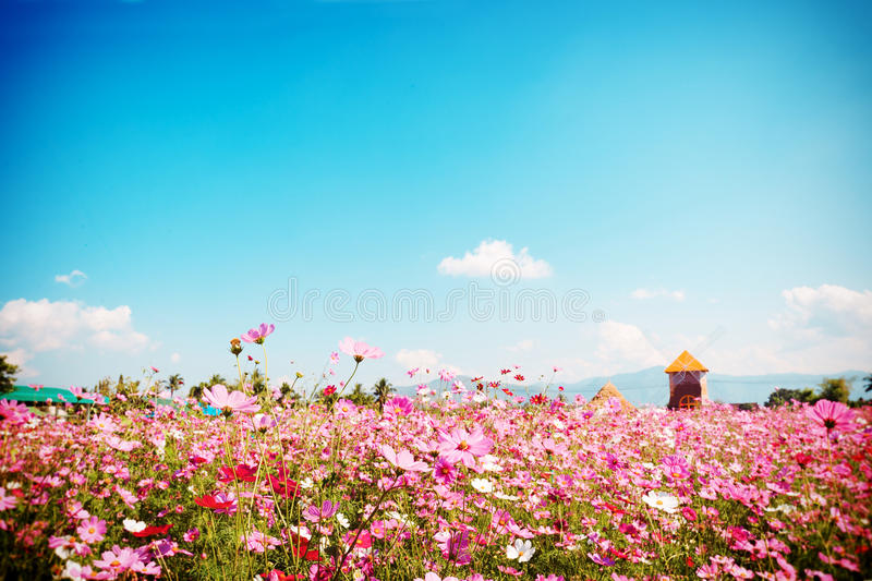 Beautiful pink and red cosmos flower field with blue sky stock image