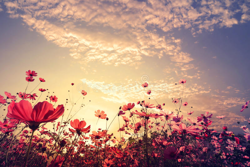 beautiful pink and red cosmos flower field with sunshine stock photo