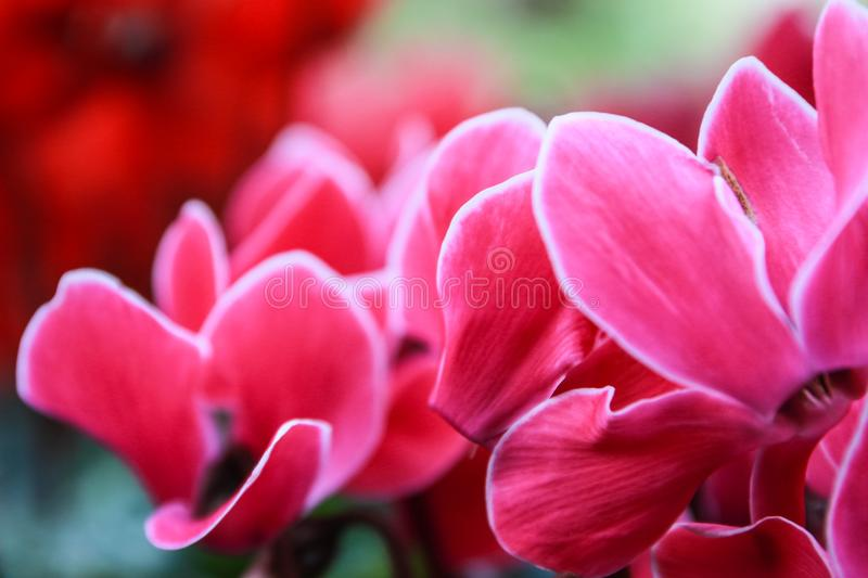 Beautiful pink and red cyclamen flowers stock images