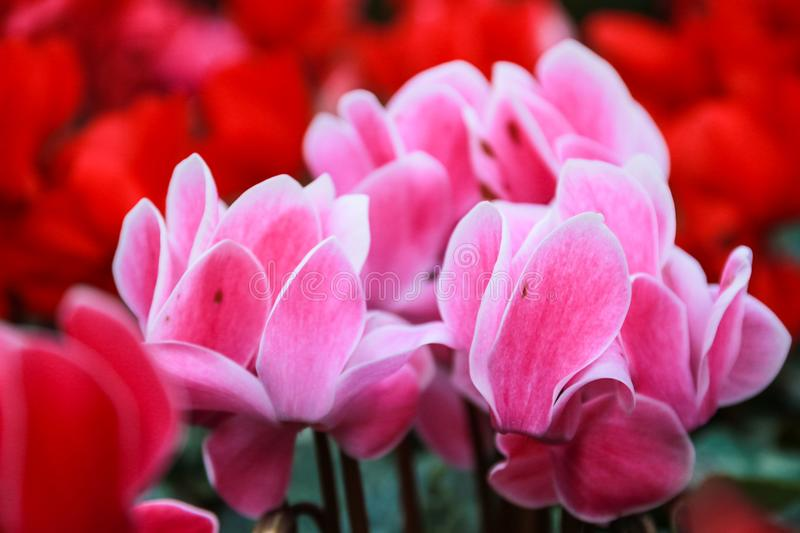 Beautiful pink and red cyclamen flowers royalty free stock photography