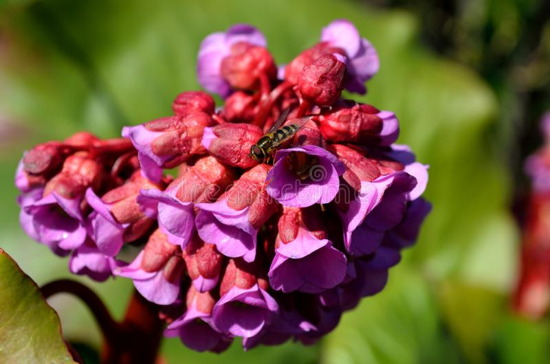 Beautiful pink and red heart bergenia flower in summer sunshine macro stock photo