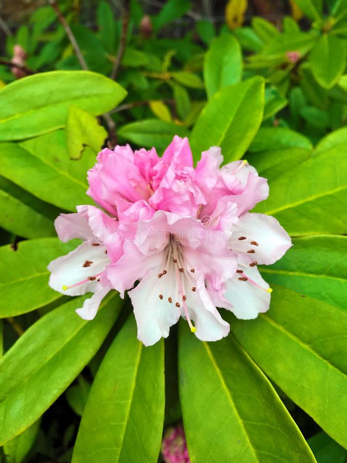 Beautiful pink rhododendron royalty free stock photography