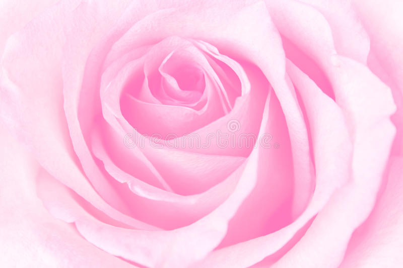 Download Beautiful Pink Rose stock image. Image of natural, flower - 26530557