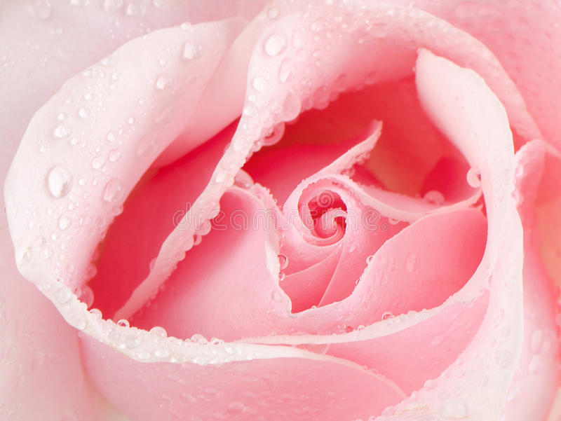 Download Beautiful Pink Rose Stock Images - Image: 28680344