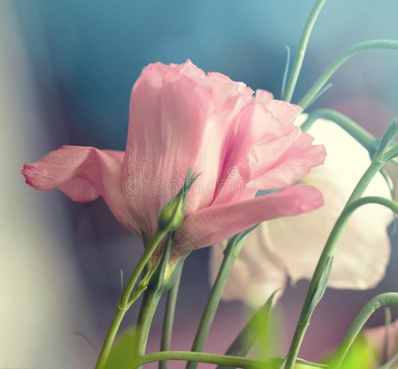 Beautiful pink rose on blue background. Pink flower royalty free stock photo