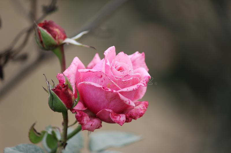 Beautiful pink rose with buds stock photo