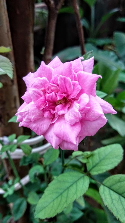 Beautiful pink rose clicked in garden. Beautiful pink rose royalty free stock photos