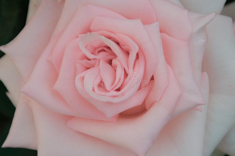 Beautiful pink Rose close up. Background stock images