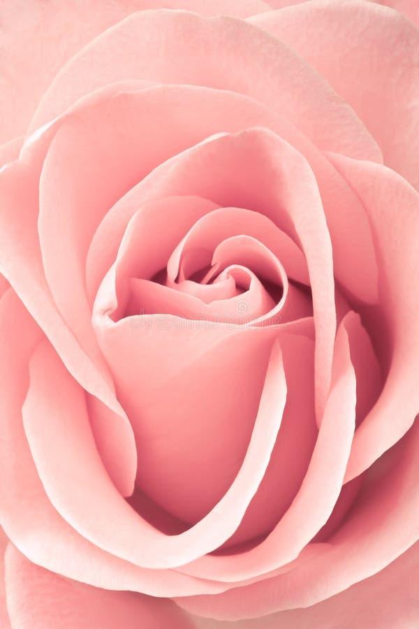 Beautiful pink rose, closeup royalty free stock image