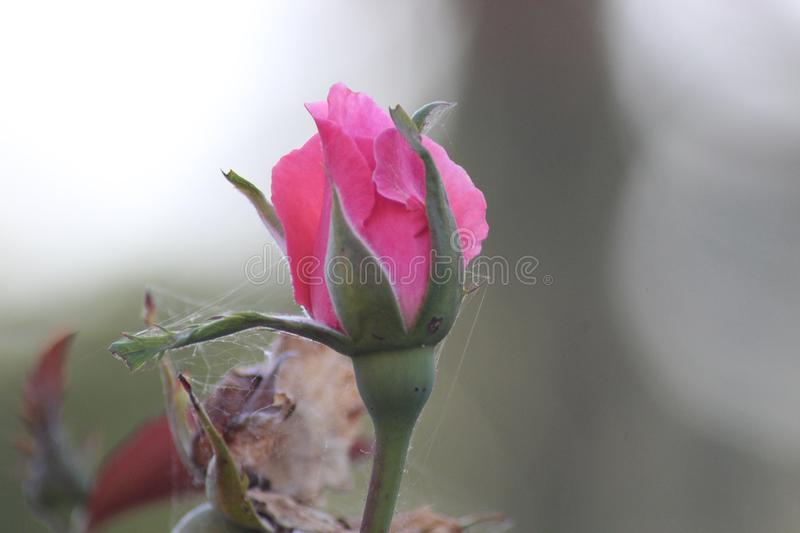 The beautiful pink rose in the field. This photo is made in a field near Greve in Chianti, Tuscany, Italy stock photos