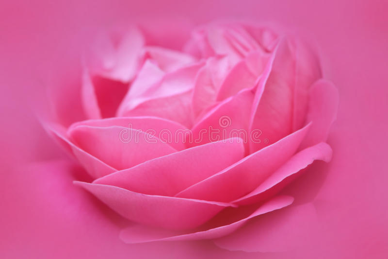 Beautiful Pink rose flower abstract nature background royalty free stock photography