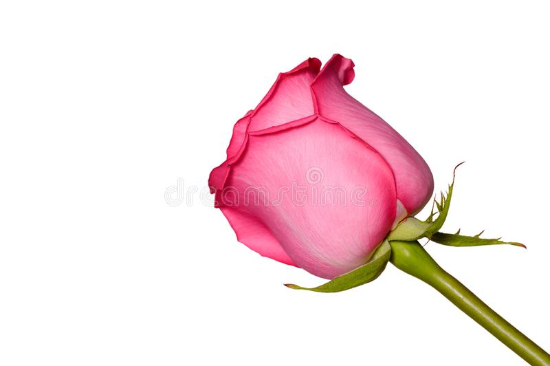 Beautiful pink rose flower close up. Tender rose head isolated. Garden flowers royalty free stock photos