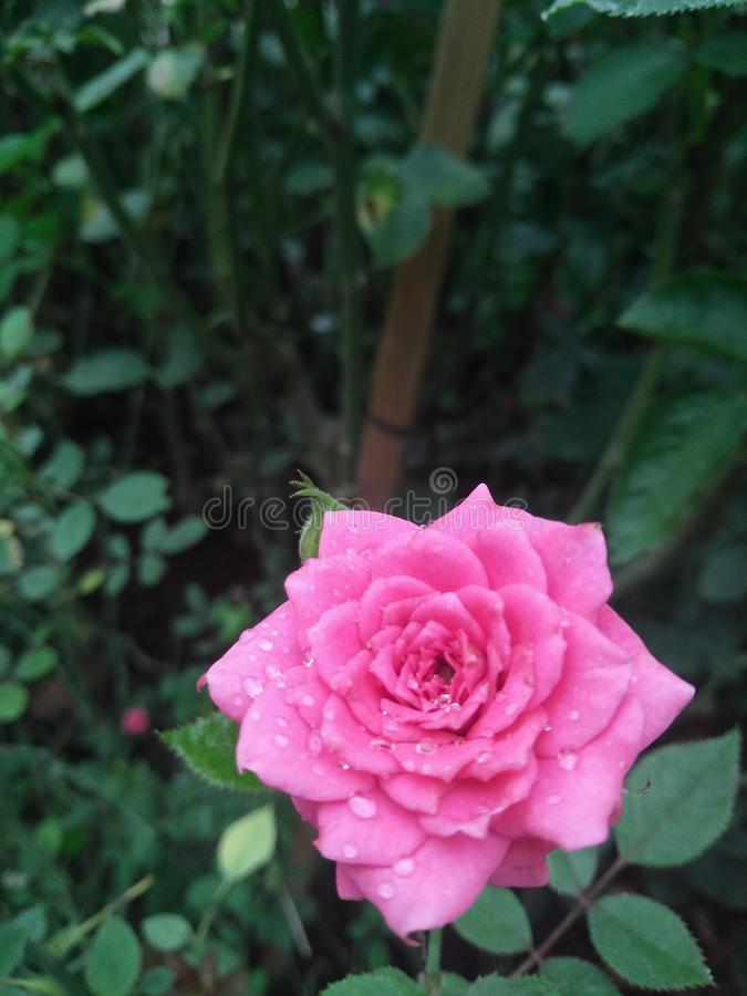 Beautiful pink rose flower in garden stock photo