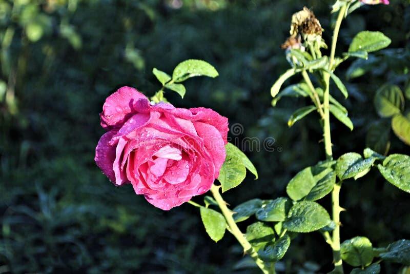 Beautiful pink rose flower green leaf romantic nature blossom garden still life morning dew flora. Pink rose flower green leaf romantic nature blossom garden stock images