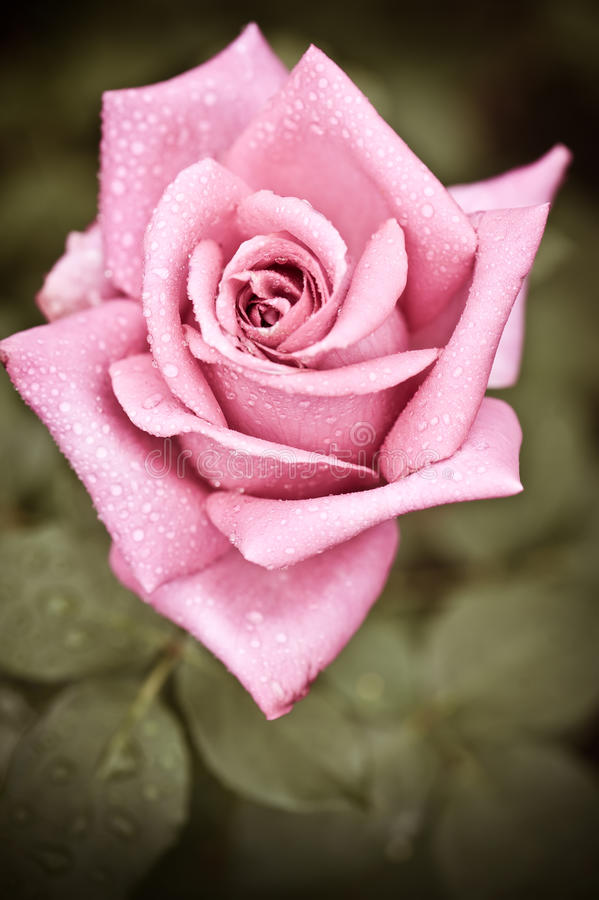 Beautiful Pink Rose Flower With Water Drops Stock Image