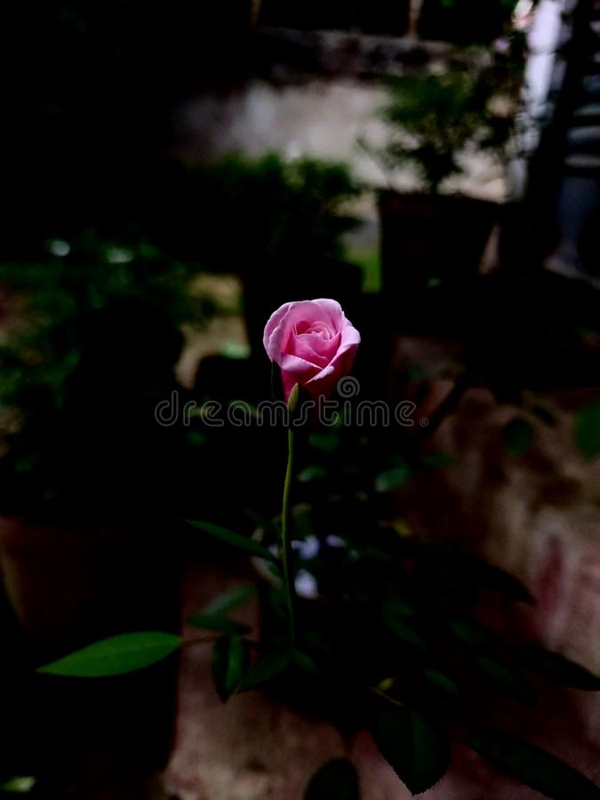 Beautiful pink rose flowers in the summer day stock photography