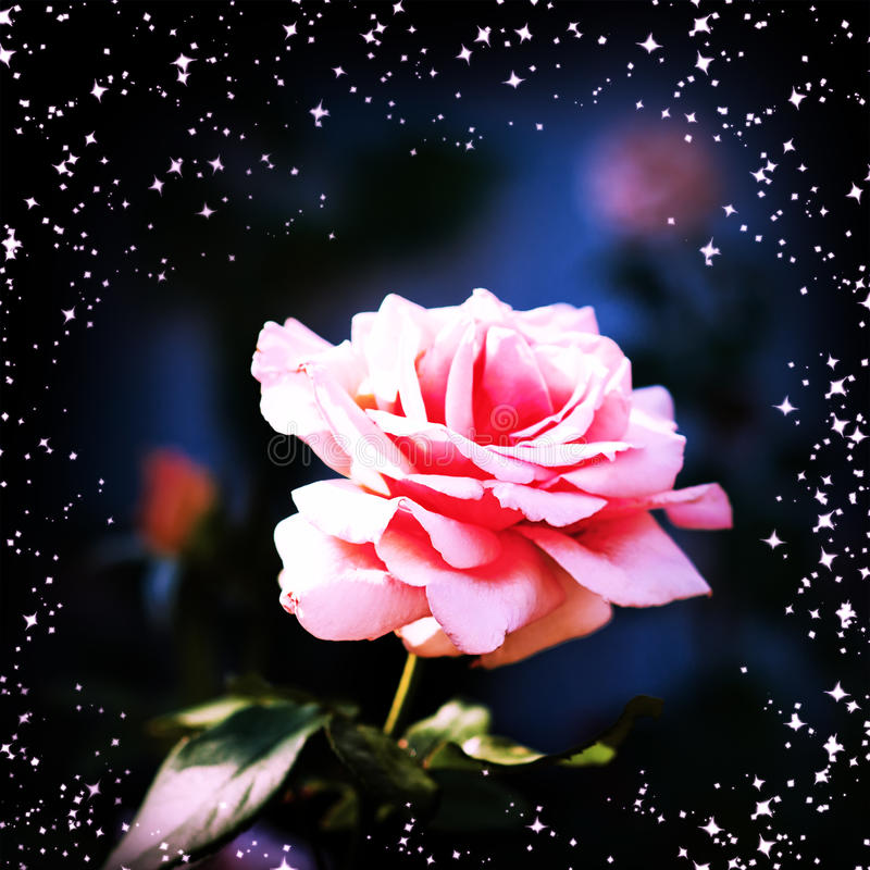Beautiful Pink Rose In A Garden Royalty Free Stock Photos