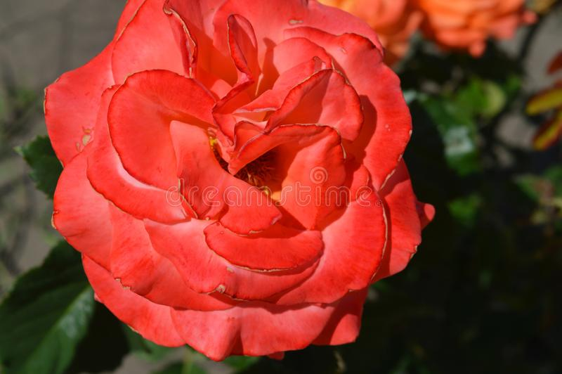 A Beautiful pink rose in the garden. Really beautiful pink rose with green leaves in the garden. Summer sunny day. Hot weather stock image