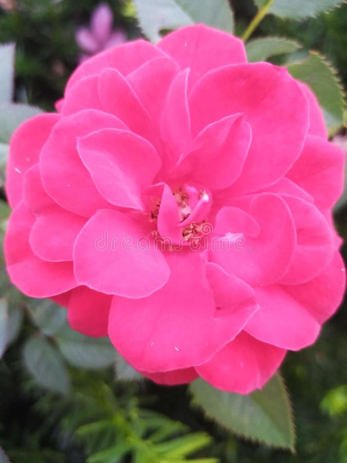 Beautiful pink rose in the hedge stock photo