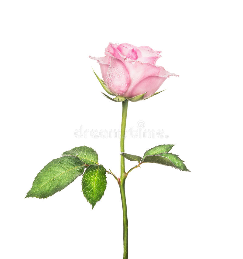 Beautiful pink rose on long stalk with leaves, isolated on white stock photo