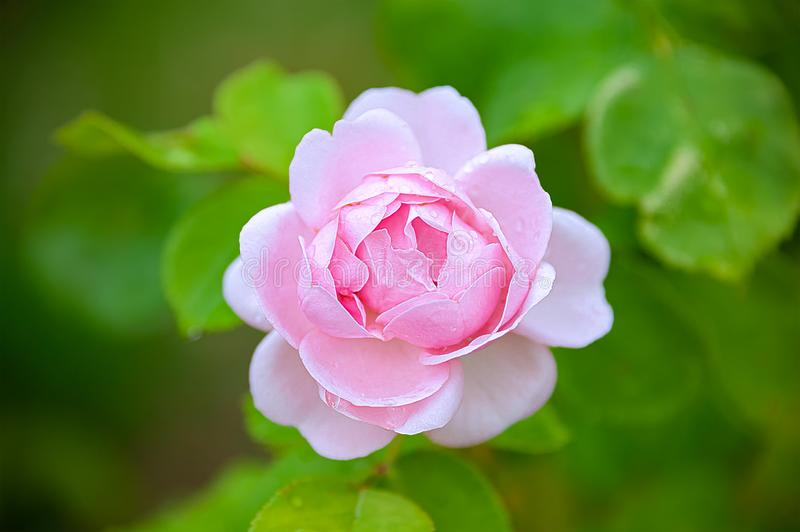Beautiful pink rose with morning dew. Beautiful pink rose with morning dew on the petals taken with shallow depth of field stock photo