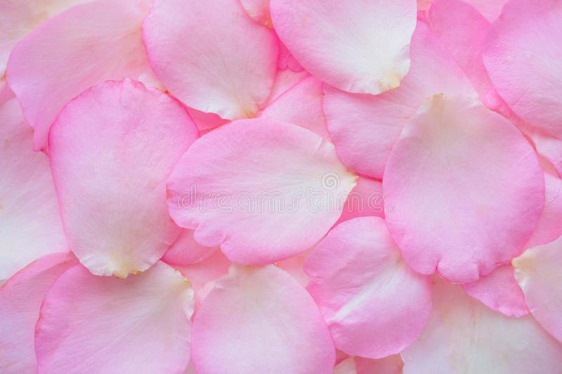 Beautiful pink rose petals for Valentines day background stock photography