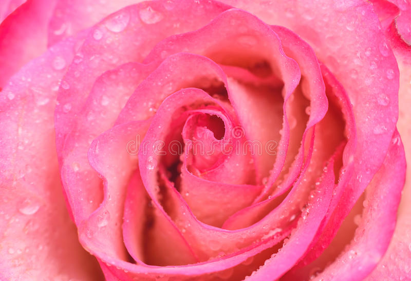 Beautiful pink rose with water drops royalty free stock photo