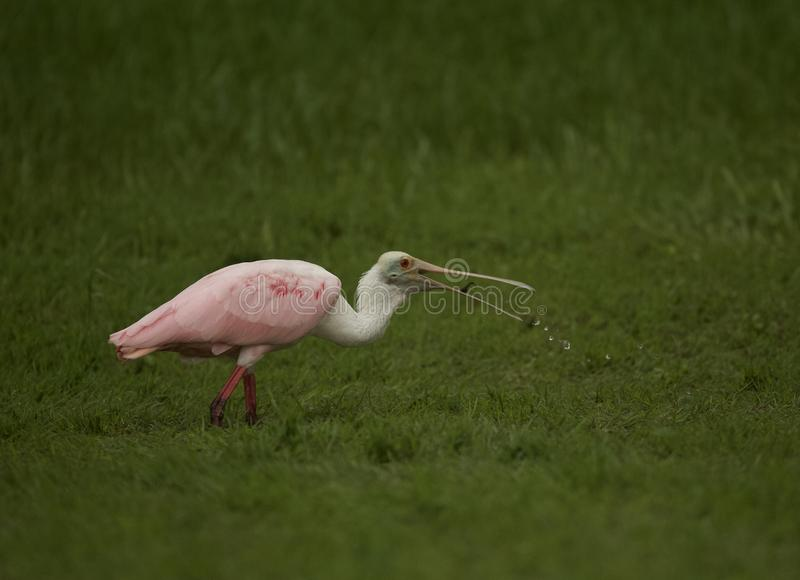 Roseate Spoonbill in Tampa, Florida. A beautiful pink Roseate Spoonbill Platalea ajaja wading in a flooded field, searching for tadpoles to eat. Tampa, FL, USA royalty free stock images