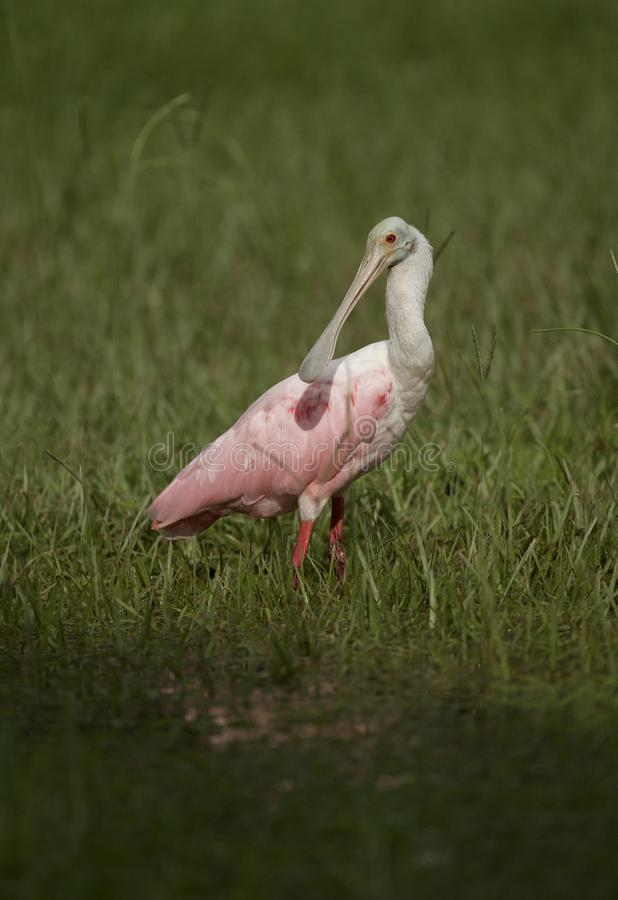 Roseate Spoonbill in Tampa, Florida. A beautiful pink Roseate Spoonbill Platalea ajaja wading in a flooded field, searching for tadpoles to eat. Tampa, FL, USA royalty free stock photography