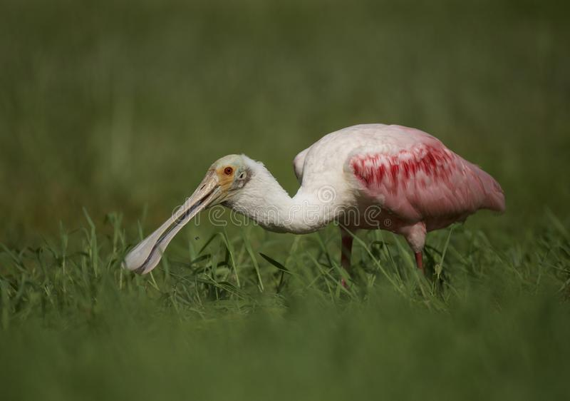Roseate Spoonbill in Tampa, Florida. A beautiful pink Roseate Spoonbill Platalea ajaja wading in a flooded field, searching for tadpoles to eat. Tampa, FL, USA stock photography
