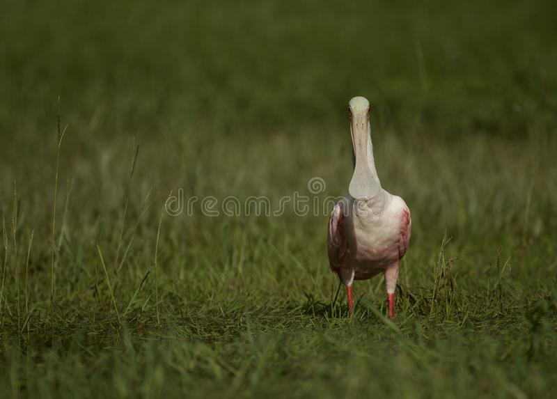 Roseate Spoonbill in Tampa, Florida. A beautiful pink Roseate Spoonbill Platalea ajaja wading in a flooded field, searching for tadpoles to eat. Tampa, FL, USA stock photo