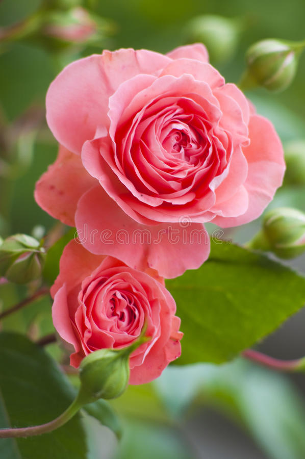 Download Beautiful pink roses stock image. Image of beautiful - 14613471