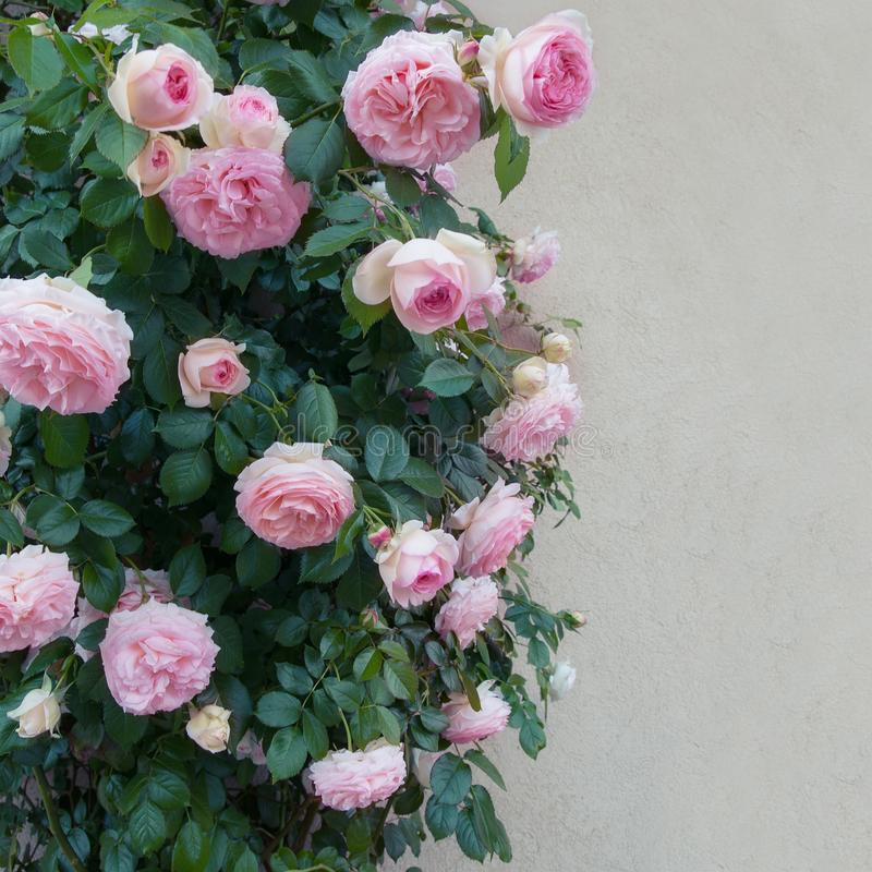 Download Beautiful pink roses stock image. Image of pink, flower - 112677573