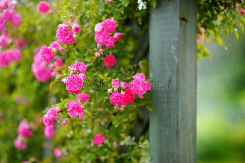 Beautiful pink roses bush royalty free stock image