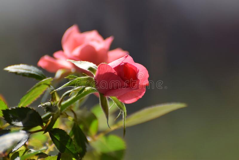 Pink roses blooming on a rose bush stock photos