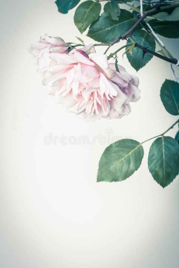 Beautiful pink roses artistic background, vintage style. Beautiful pink roses in full bloom, artistic background stock image