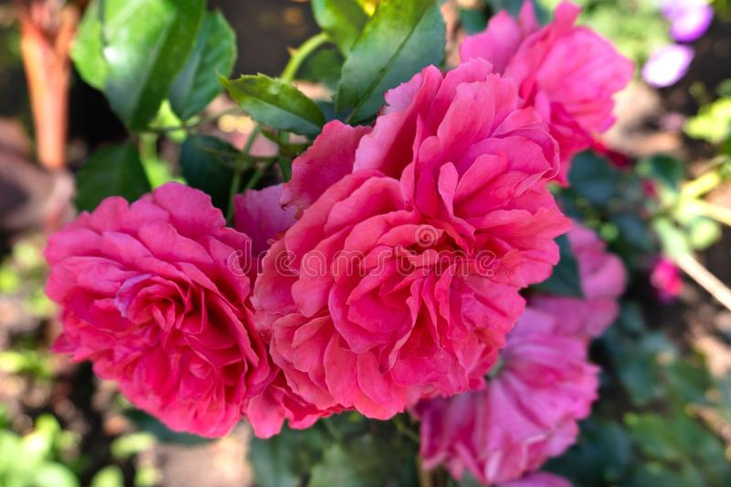 Beautiful pink roses in the garden royalty free stock images