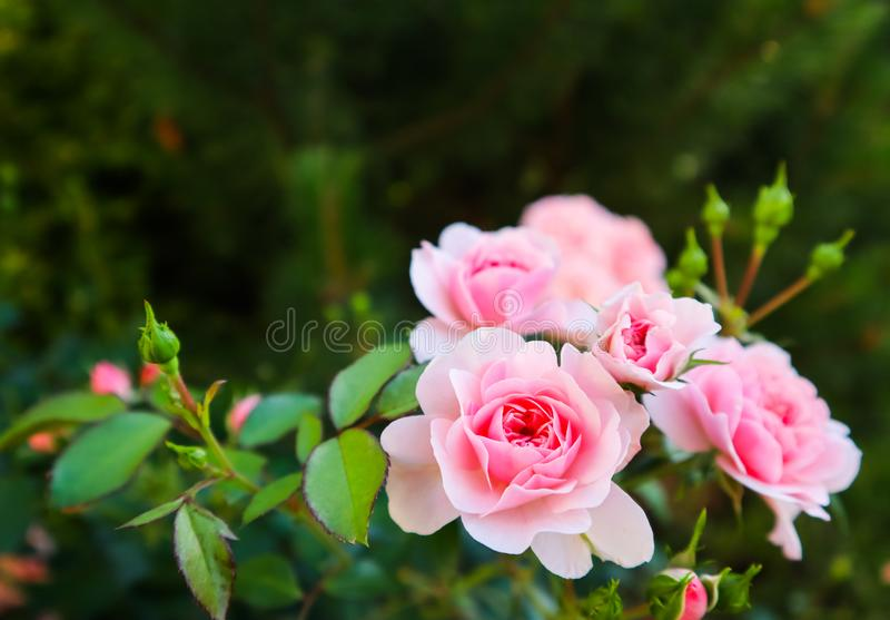 Beautiful pink roses in the garden. Perfect for background of greeting cards for birthday, Valentine`s Day and Mother`s Day. Beautiful pink roses in the garden royalty free stock photo