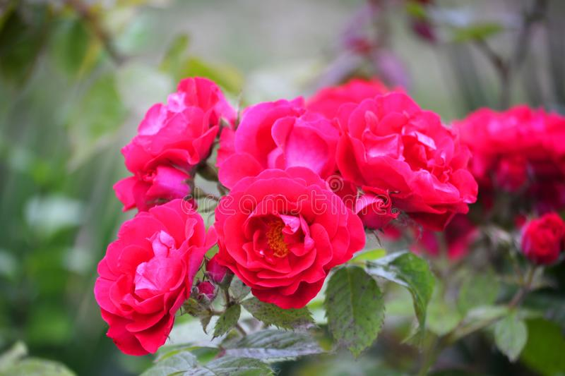 Beautiful pink roses on a green blurred background royalty free stock images