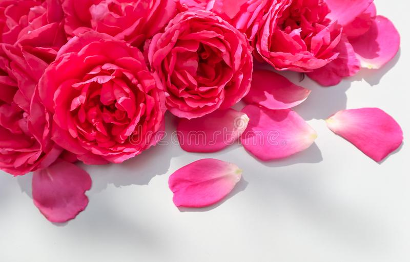 Beautiful pink roses and petals on white background. Ideal for greeting cards for wedding, birthday, Valentine`s Day, Mother`s Day royalty free stock photo